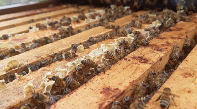 La division d'une ruche par tapottement